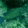 Bluelined Grouper/Cephalopholis formosa
