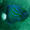 Blue-ringed Angelfish/Pomacanthus annularis