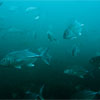 Big-eye Trevally/Caranx sexfasciatus