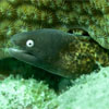 White-eyed Morayeel