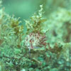 Aeolid Nudibranch: Flabellina sp.