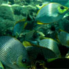 School of Rabbitfish