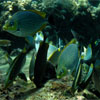 Rabbitfish feeding